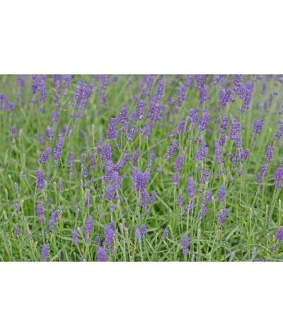 Lavandula angustifolia Hidcote (1lt)