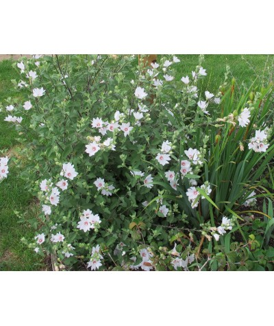 Lavatera x clementii Barnsley Baby (5lt)
