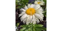 Leucanthemum x superbum Adorable (1lt)