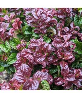 Leucothoe axillaris Curly Red (2lt)