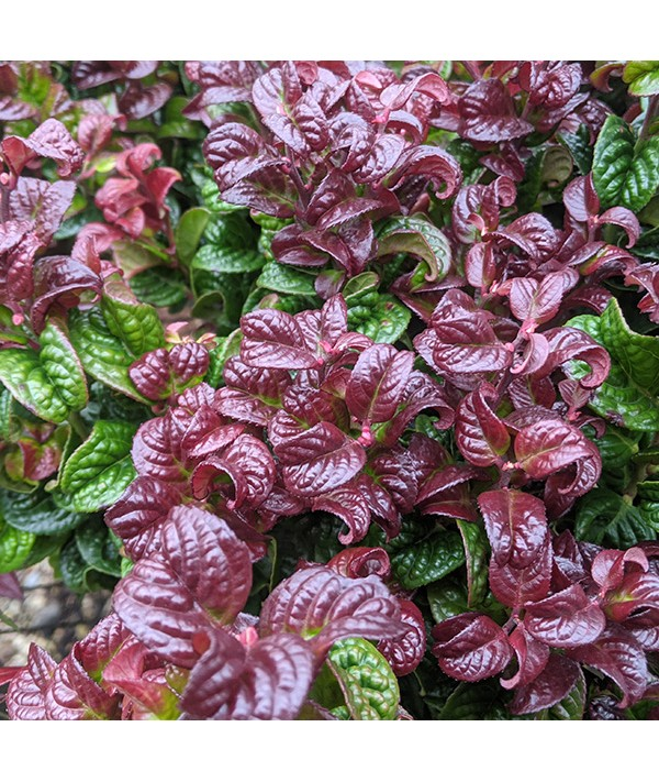 Leucothoe axillaris Curly Red (2lt)