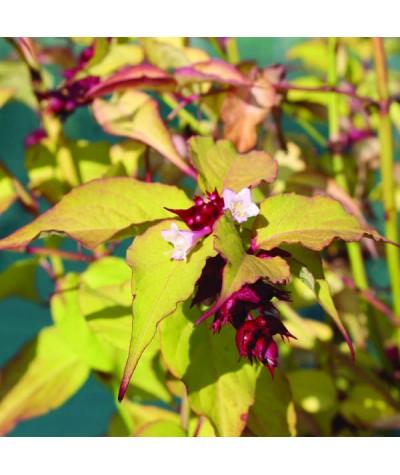 Leycesteria Gold Leaf (3lt)