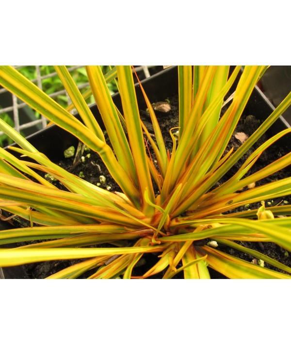 Libertia ixioides 'Goldfinger' (1.5lt)