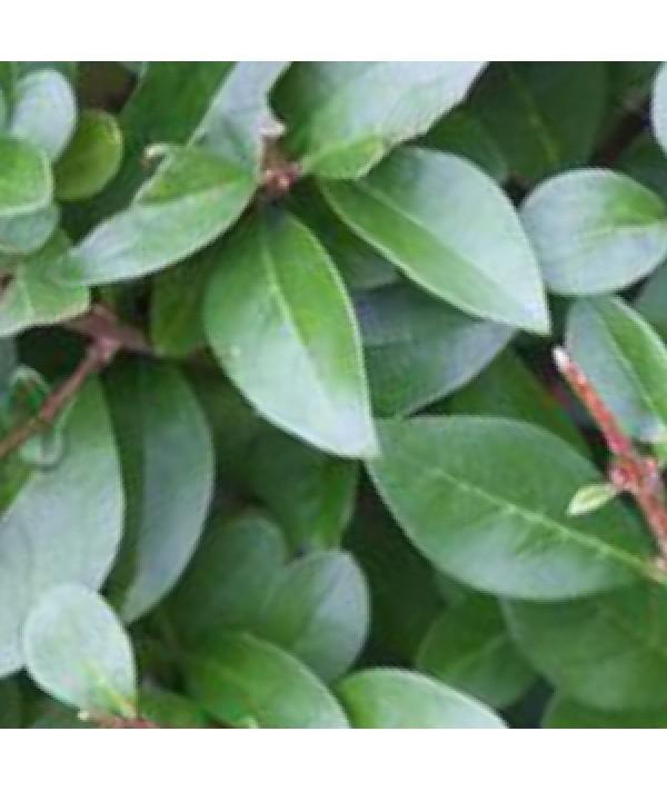 Ligustrum ovalifolium (bare root)