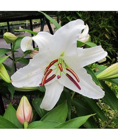 Lilium Casa Blanca (8lt)
