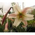 Lilium formosanum Pricei (2lt)