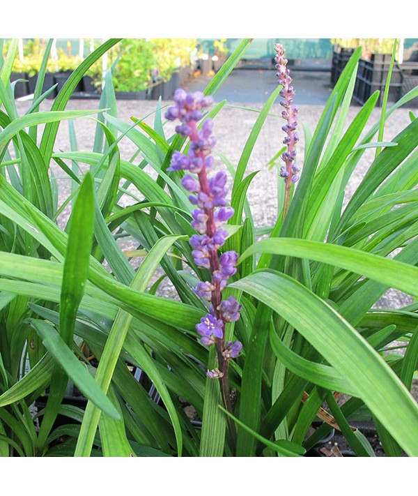 Liriope muscari Big Blue (1.5lt)