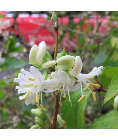 Lonicera fragrantissima (7.5lt)