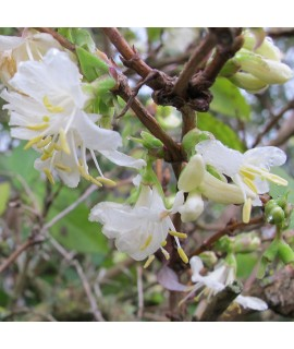 Lonicera x purpusii Winter Beauty (15lt)