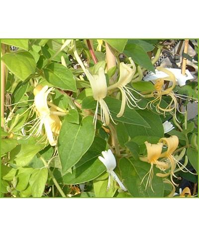 Lonicera japonica Hall's Prolific (2lt)