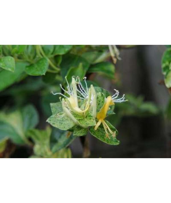 Lonicera japonica Mint Crisp (3lt)