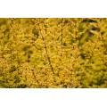 Lonicera nitida Baggesen's Gold (3lt)
