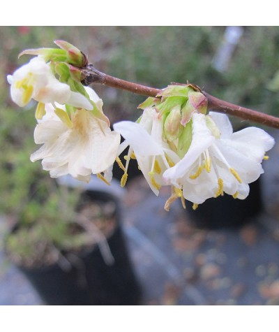 Lonicera x purpusii Winter Beauty (3lt)