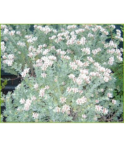 Lotus hirsutus (Dorycnium hirsutus) (3lt)