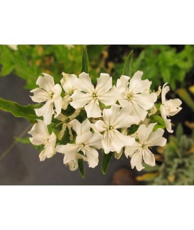 Lychnis chalcedonica albiflora (3lt)