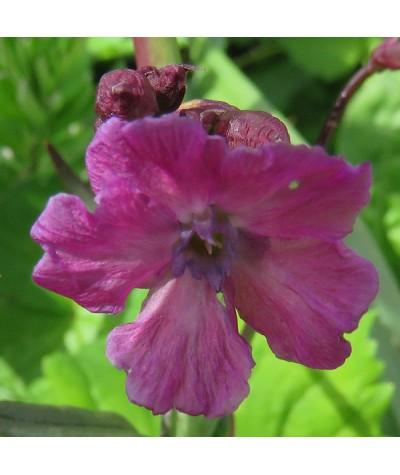 Lychnis viscaria subsp. Atropurpurea (1lt)