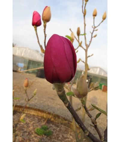 Magnolia Black Tulip (Jurmag1) (12lt)