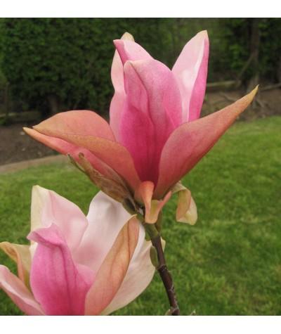 Magnolia Daybreak (12lt)