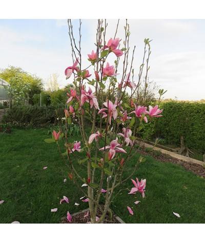 Magnolia Daybreak (10lt)