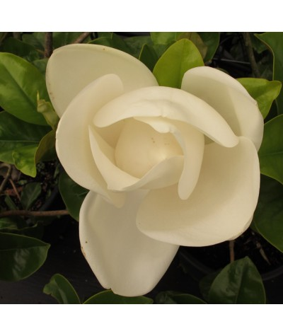 Magnolia grandiflora Goliath standards (110lt)