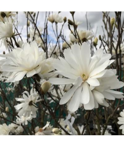 Magnolia stellata (3lt)