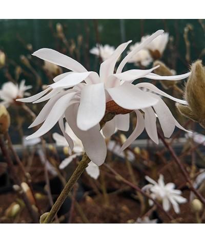 Magnolia stellata Rosea King (10lt)