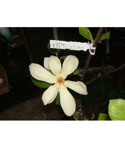 Magnolia Yellow Rivers (10lt)