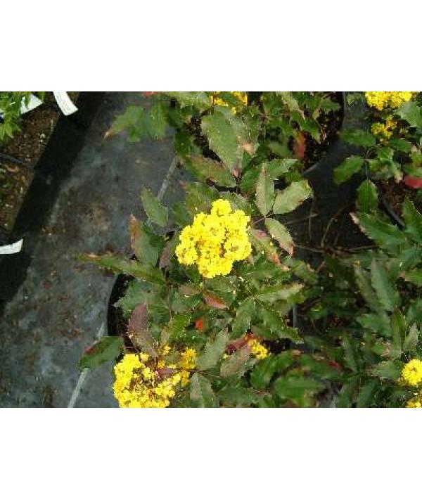 Mahonia aquifolium Atropurpurea (7.5lt)