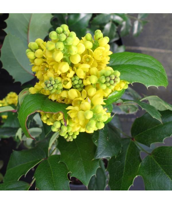 Mahonia aquifolium Smaragd (7.5lt)