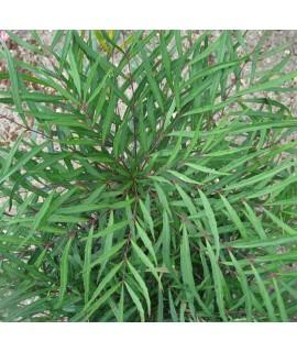 Mahonia eurybracteata Soft Caress (2lt)