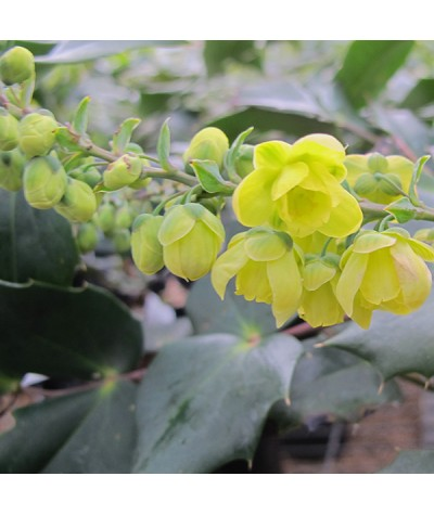 Mahonia japonica Bealei Group (7.5lt)