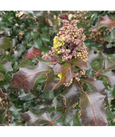 Mahonia x wagneri Undulata (7.5lt)