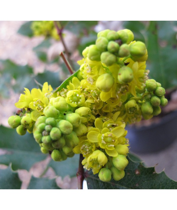 Mahonia x wagneri Pinnacle (7.5lt)