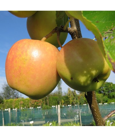 Malus domestica Golden Delicious mm106 (13.5lt)