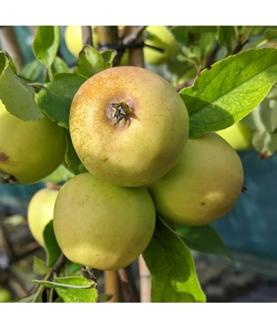 Malus domestica Michelin (Cider) (MM106) (6lt)
