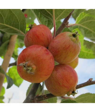 Malus Evereste (13.5lt)