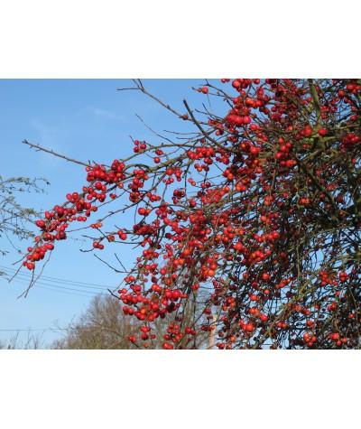 Malus x robusta Red Sentinel (13.5lt)