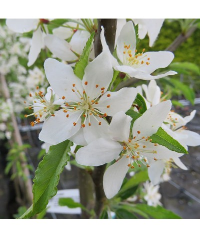 Malus transitoria (35lt)