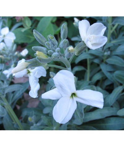 Matthiola incana alba (1lt)