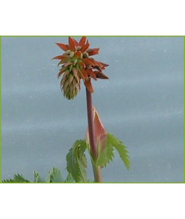 Melianthus major (2lt)