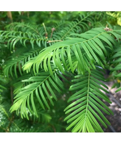 Metasequoia glyptostroboides (10lt)