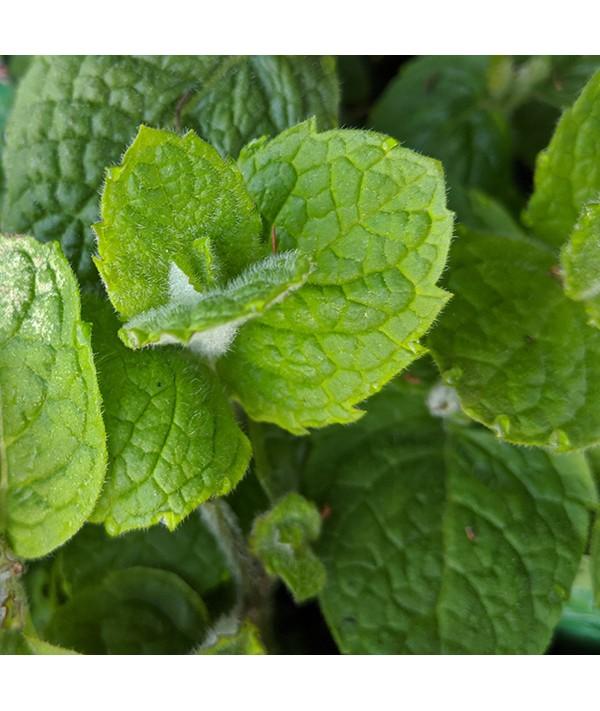 Mentha suaveolens (apple mint) (1lt)