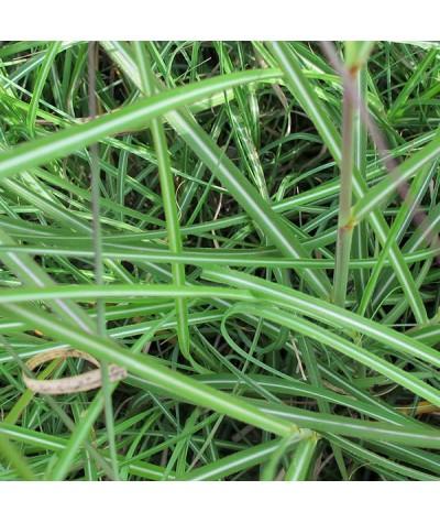 Miscanthus sinensis Adagio (3lt)