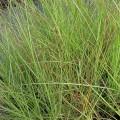 Miscanthus sinensis Gracillimus (1.5lt)
