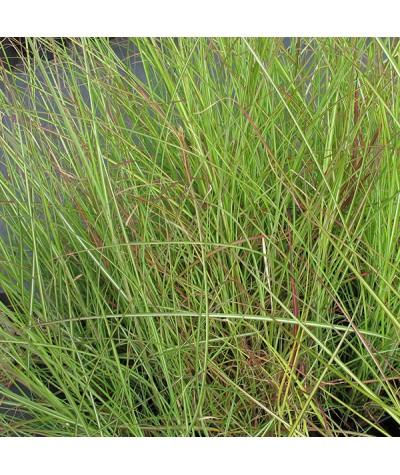 Miscanthus sinensis Gracillimus (2lt)