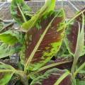 Musa acuminata Dwarf Cavendish (2lt)