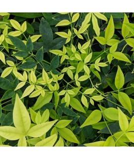 Nandina domestica Magical Lemon and Lime (5lt)