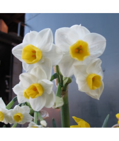 Narcissus Avalanche (4lt)