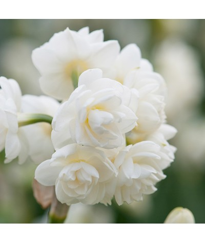 Narcissus Cheerfulness (4lt)