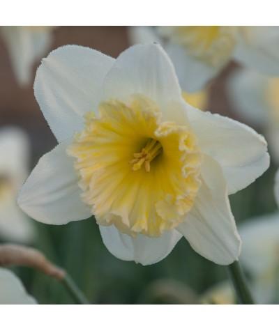 Narcissus Ice Follies (bulb)